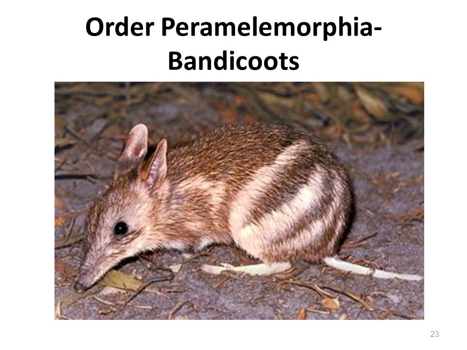 Order Peramelemorphia- Bandicoots