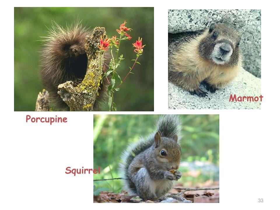 Marmot Porcupine Squirrel