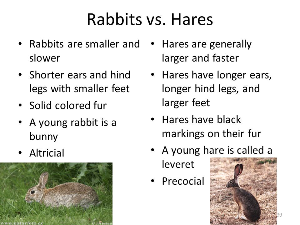 Rabbits vs. Hares Rabbits are smaller and slower