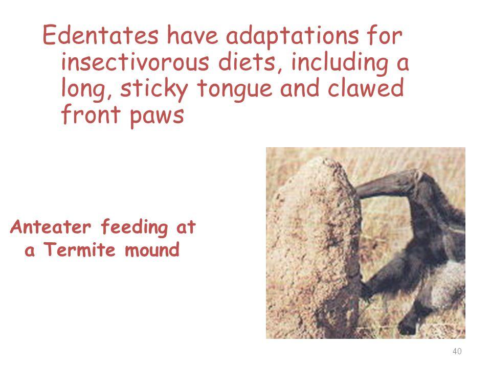 Anteater feeding at a Termite mound