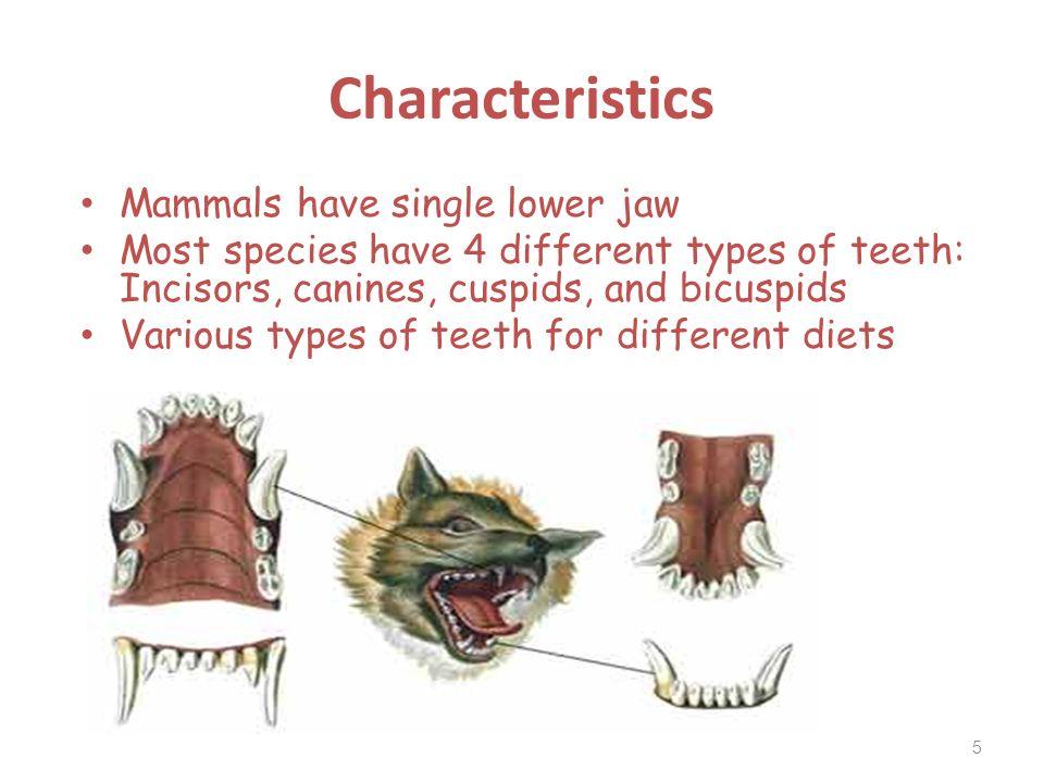 Characteristics Mammals have single lower jaw