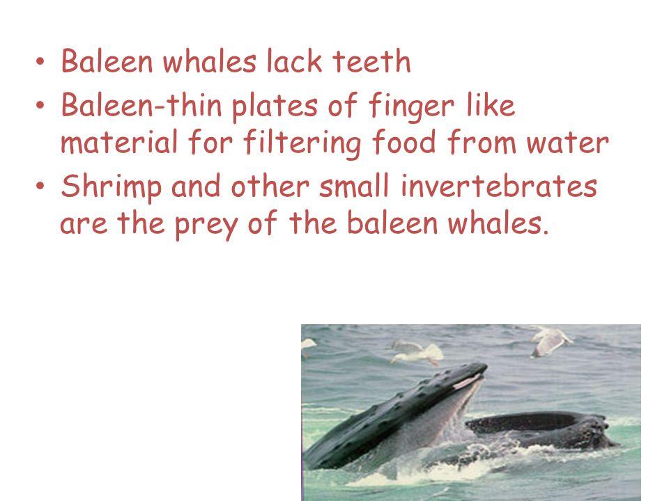 Baleen whales lack teeth
