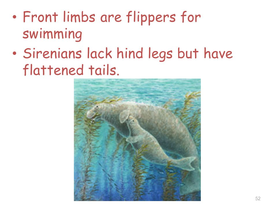 Front limbs are flippers for swimming