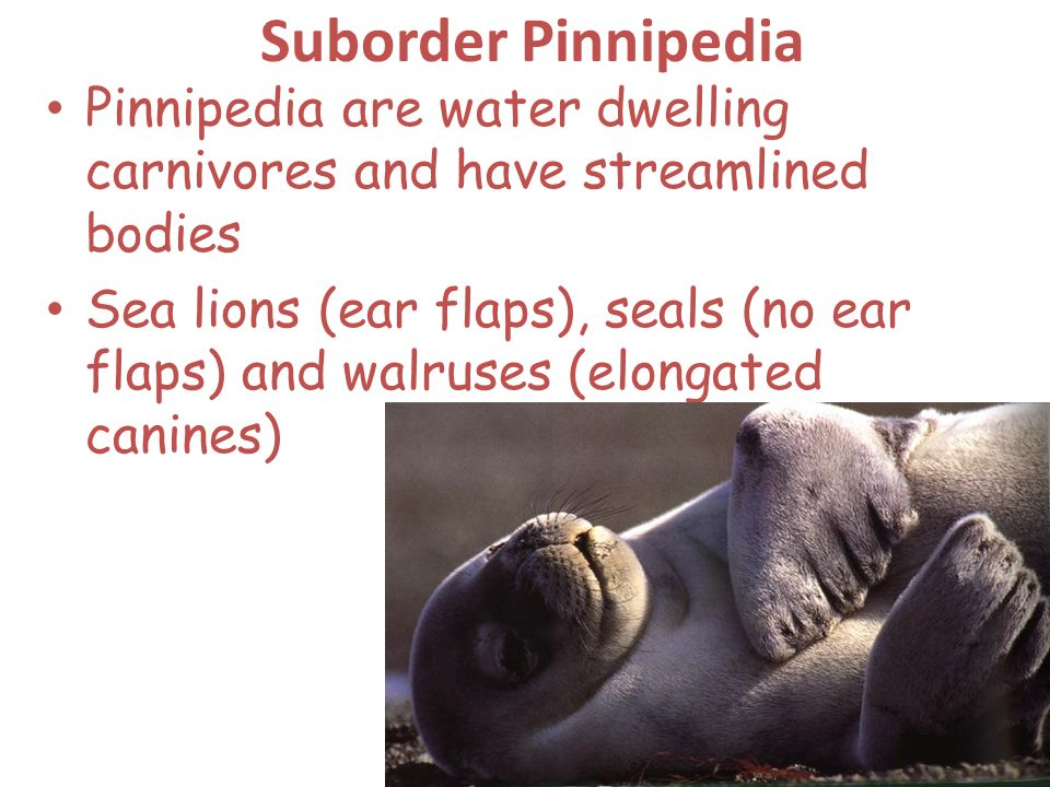 Suborder Pinnipedia Pinnipedia are water dwelling carnivores and have streamlined bodies.