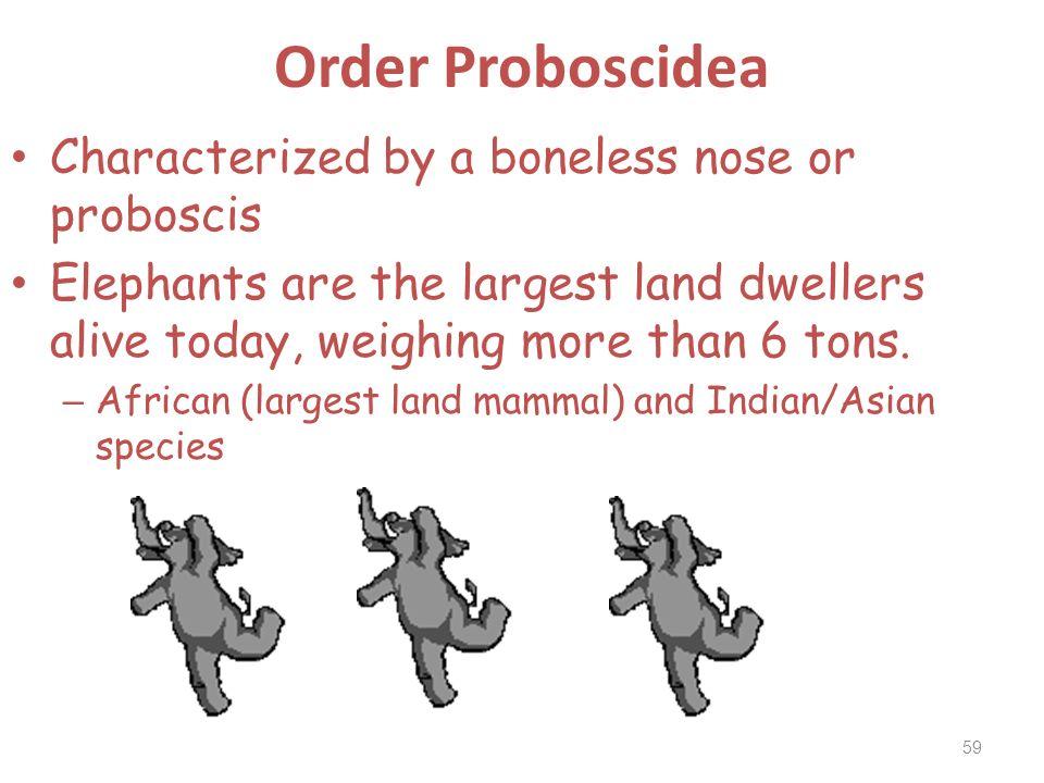 Order Proboscidea Characterized by a boneless nose or proboscis