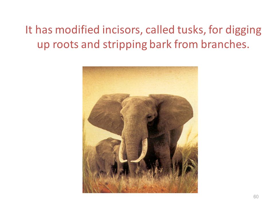It has modified incisors, called tusks, for digging up roots and stripping bark from branches.