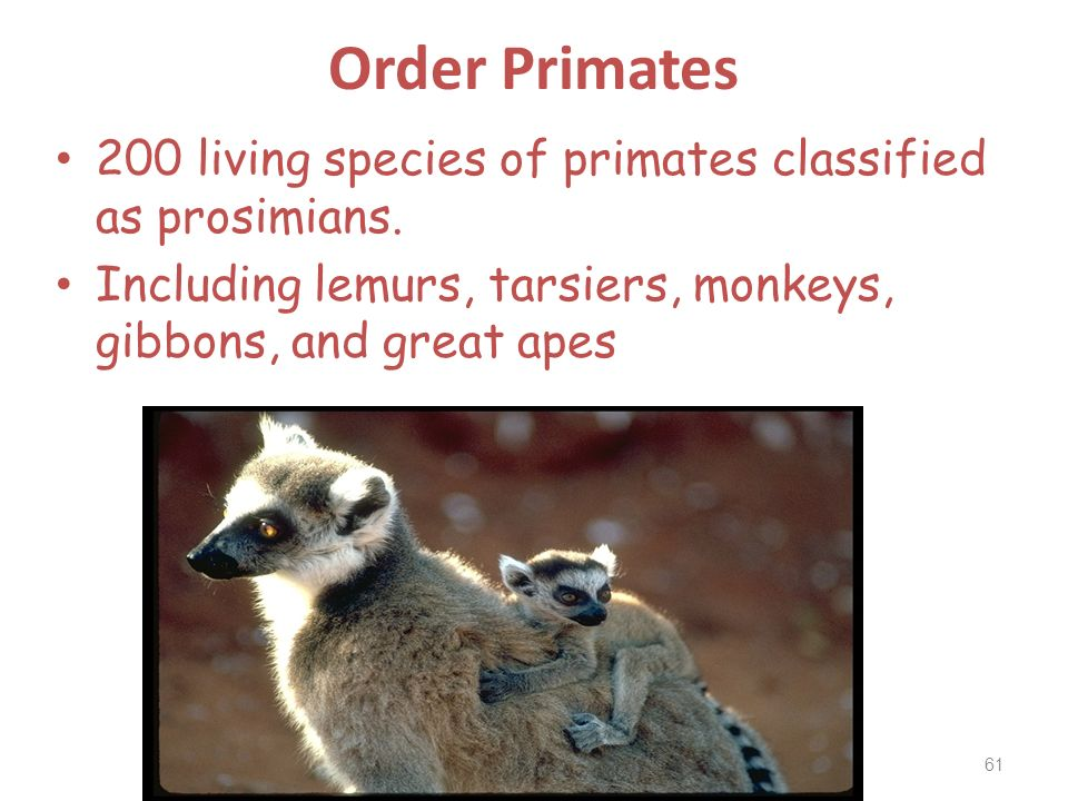 Order Primates 200 living species of primates classified as prosimians.