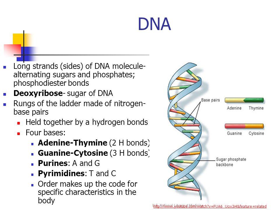 DNA Long strands (sides) of DNA molecule- alternating sugars and phosphates; phosphodiester bonds. Deoxyribose- sugar of DNA.