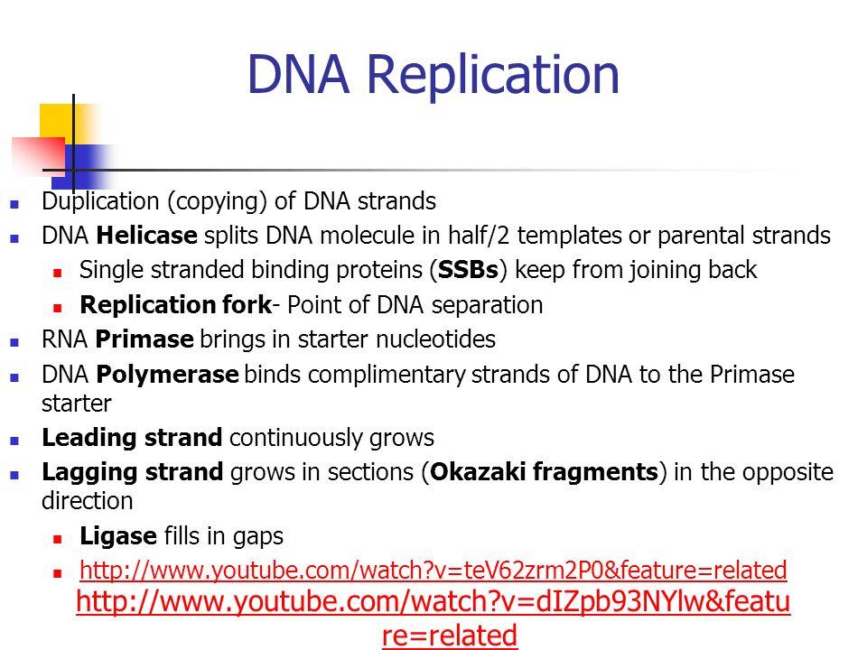 DNA Replication Duplication (copying) of DNA strands. DNA Helicase splits DNA molecule in half/2 templates or parental strands.