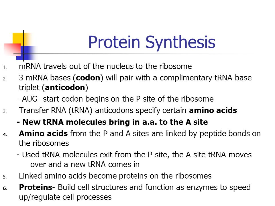 Protein Synthesis mRNA travels out of the nucleus to the ribosome