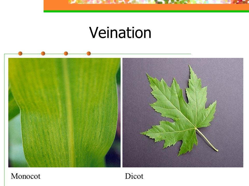 Veination Monocot Dicot