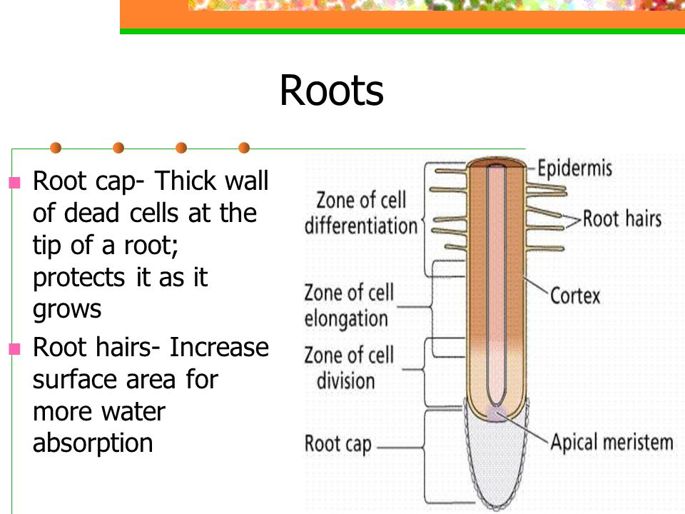 Roots Root cap- Thick wall of dead cells at the tip of a root; protects it as it grows.