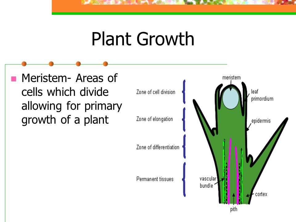 Plant Growth Meristem- Areas of cells which divide allowing for primary growth of a plant
