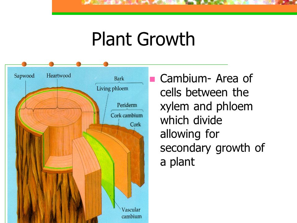Plant Growth Cambium- Area of cells between the xylem and phloem which divide allowing for secondary growth of a plant.