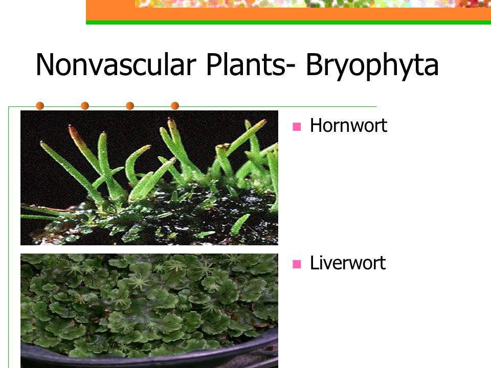 Nonvascular Plants- Bryophyta
