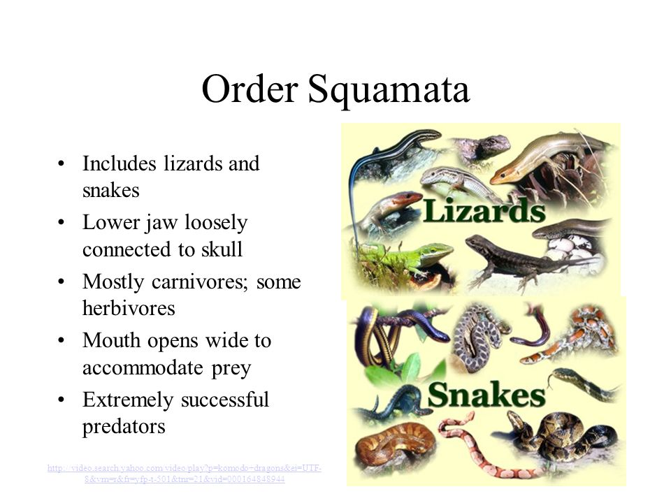 Order Squamata Includes lizards and snakes