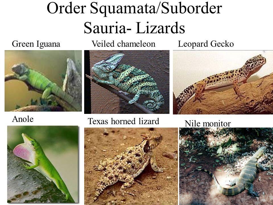Order Squamata/Suborder Sauria- Lizards
