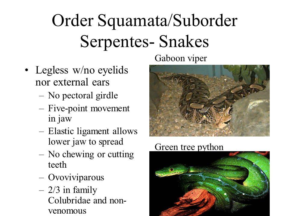 Order Squamata/Suborder Serpentes- Snakes