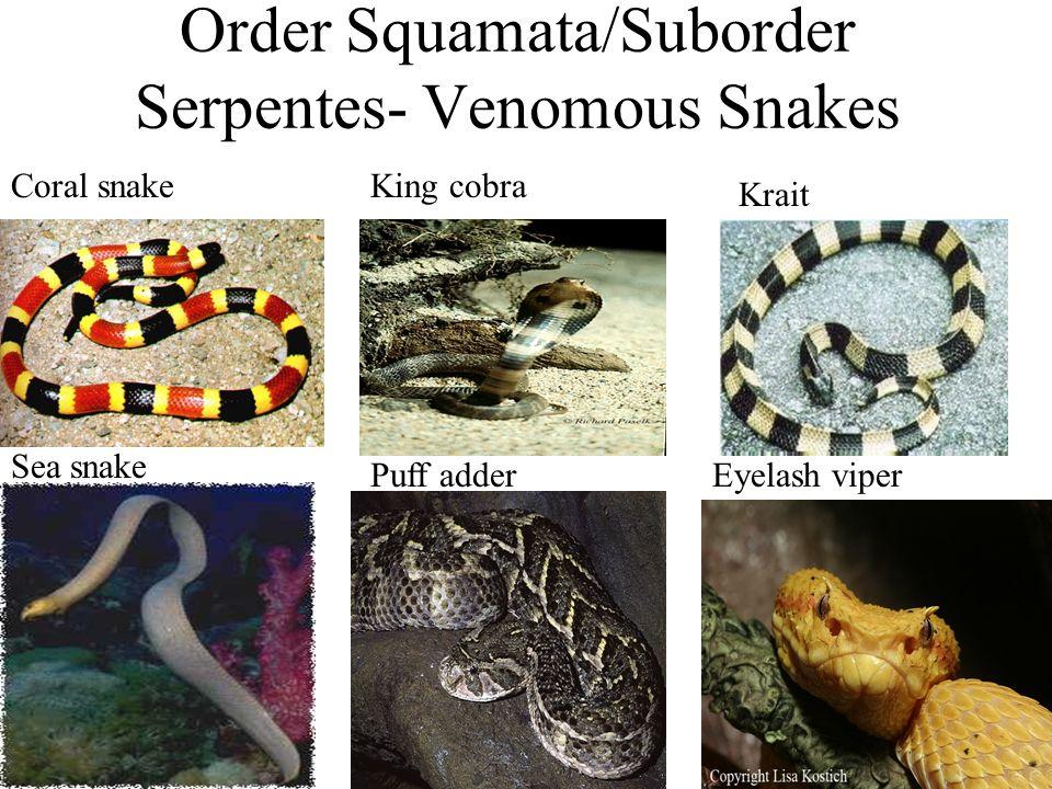 Order Squamata/Suborder Serpentes- Venomous Snakes