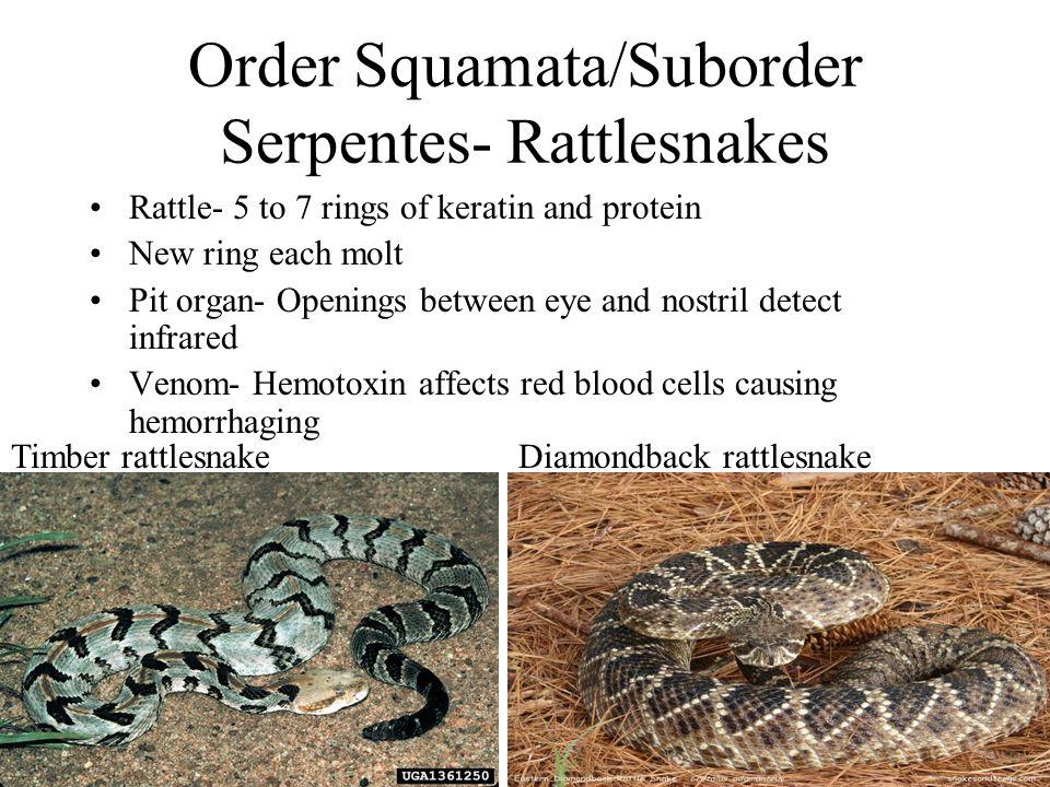 Order Squamata/Suborder Serpentes- Rattlesnakes