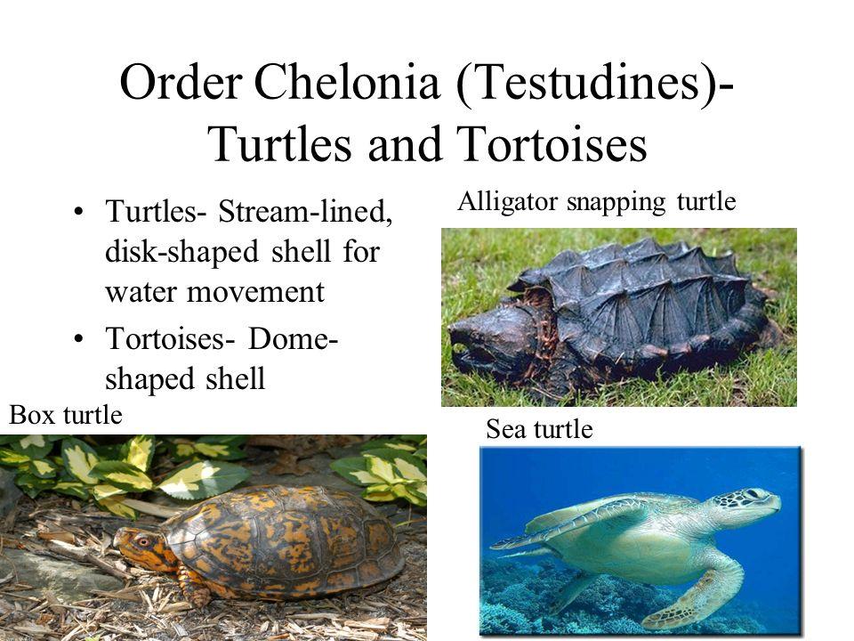 Order Chelonia (Testudines)- Turtles and Tortoises
