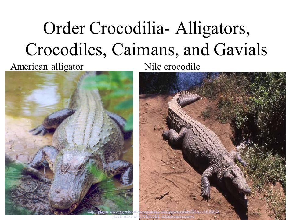 Order Crocodilia- Alligators, Crocodiles, Caimans, and Gavials