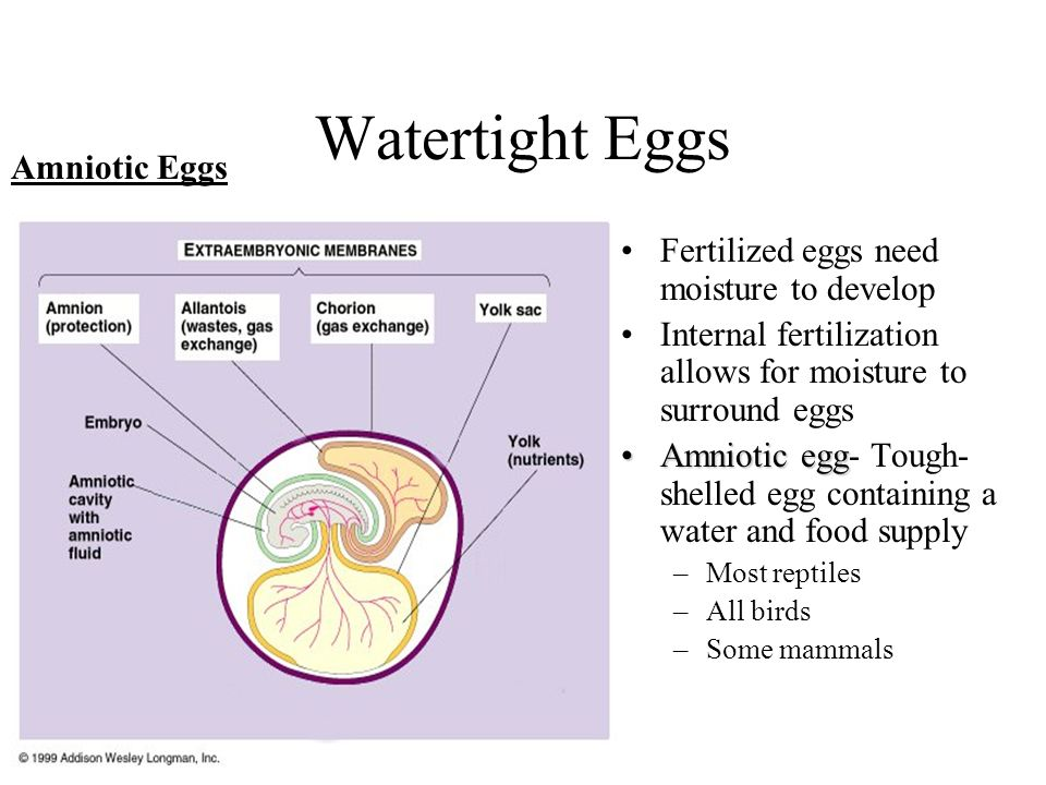 Watertight Eggs Amniotic Eggs Fertilized eggs need moisture to develop
