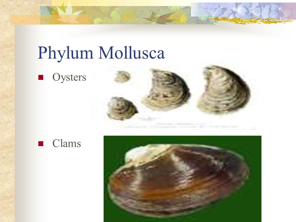 Phylum Mollusca Oysters Clams