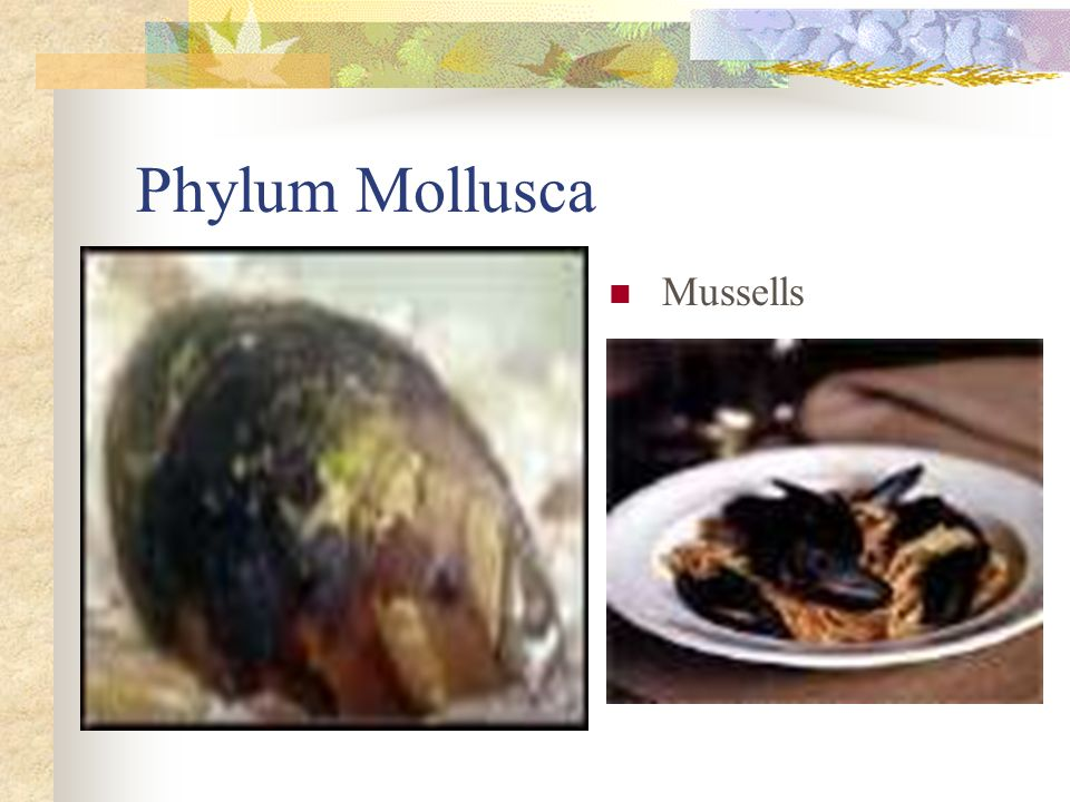 Mussells Phylum Mollusca