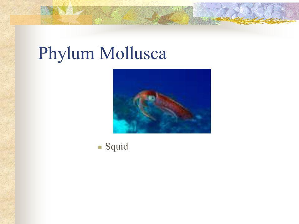 Phylum Mollusca Squid