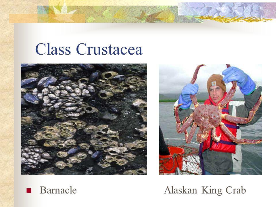 Class Crustacea Barnacle Alaskan King Crab