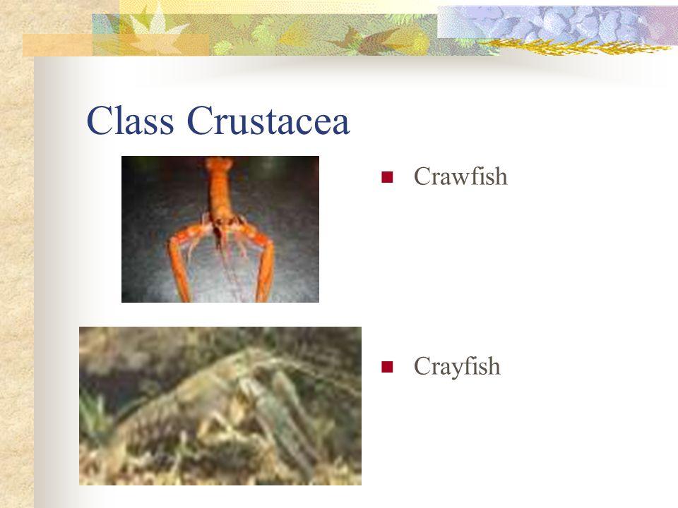 Class Crustacea Crawfish Crayfish