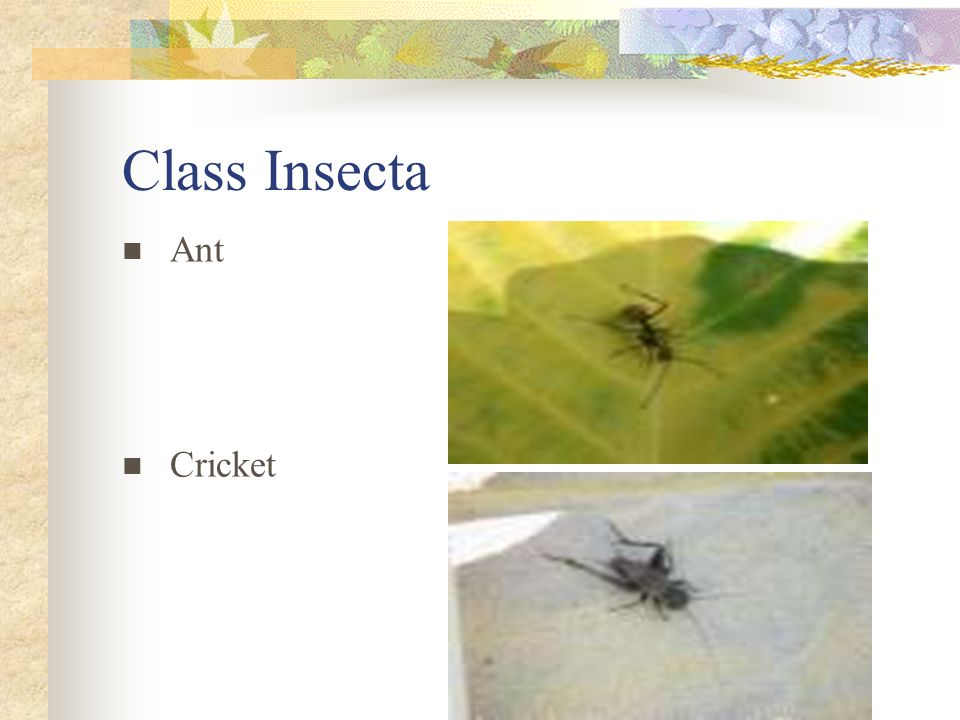 Class Insecta Ant Cricket
