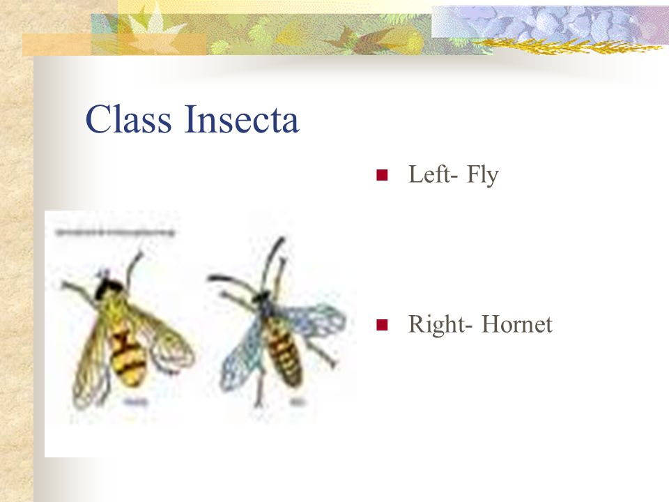 Class Insecta Left- Fly Right- Hornet