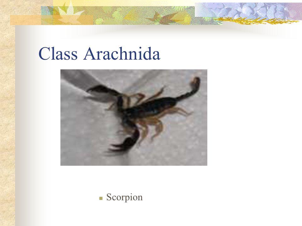 Class Arachnida Scorpion