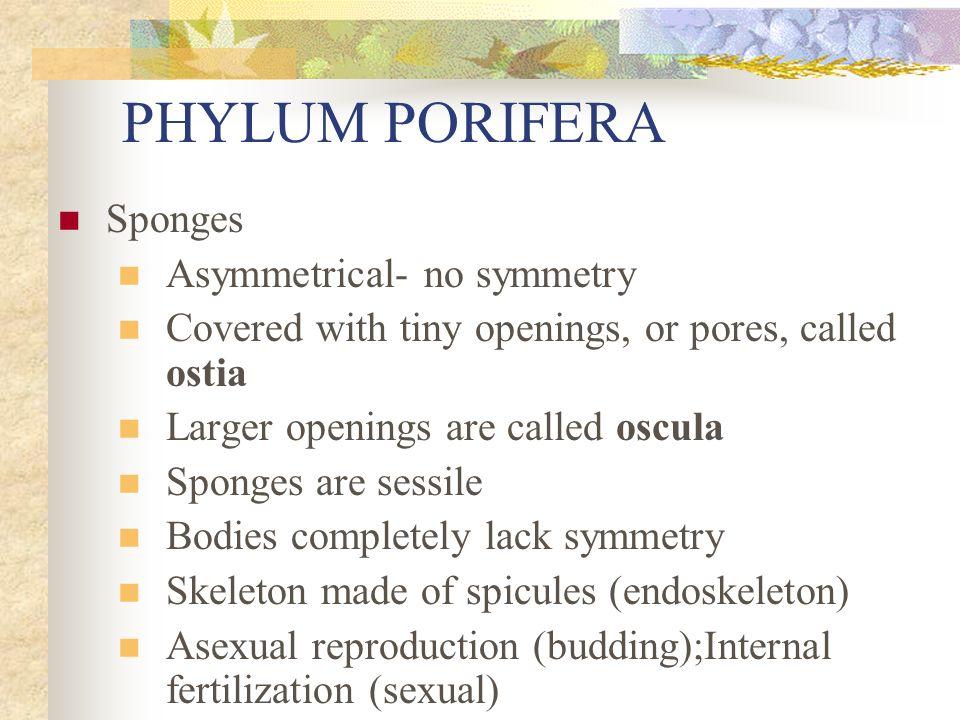 PHYLUM PORIFERA Sponges Asymmetrical- no symmetry