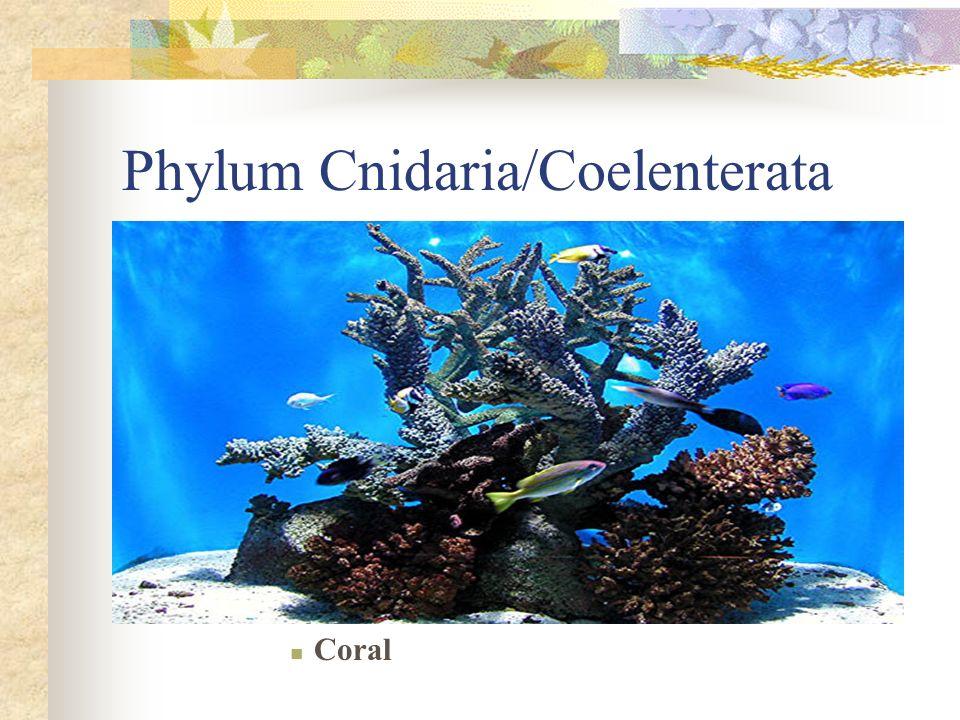 Phylum Cnidaria/Coelenterata