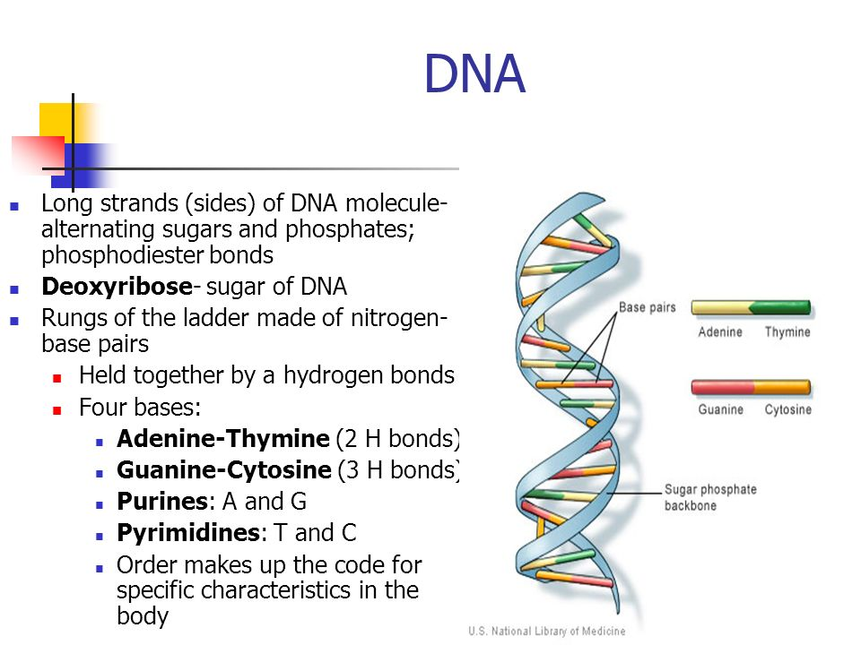 DNA Long strands (sides) of DNA molecule- alternating sugars and phosphates; phosphodiester bonds. Deoxyribose- sugar of DNA.
