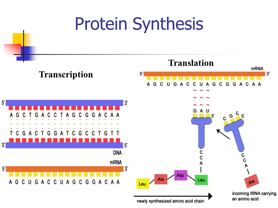 Protein Synthesis Translation Transcription