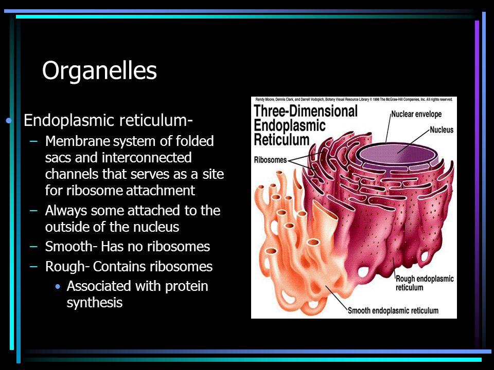 Organelles Endoplasmic reticulum-