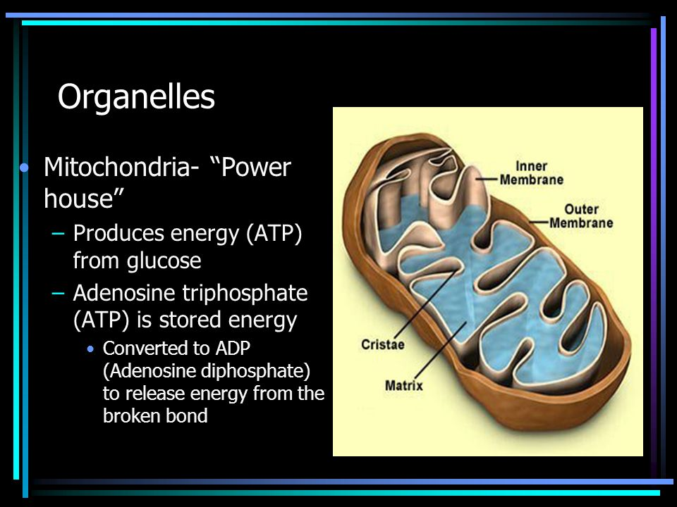 Organelles Mitochondria- Power house