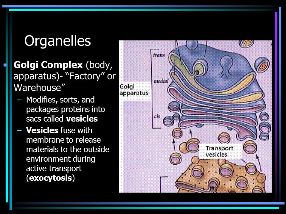 Organelles Golgi Complex (body, apparatus)- Factory or Warehouse