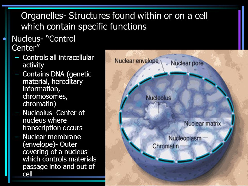 Organelles- Structures found within or on a cell which contain specific functions