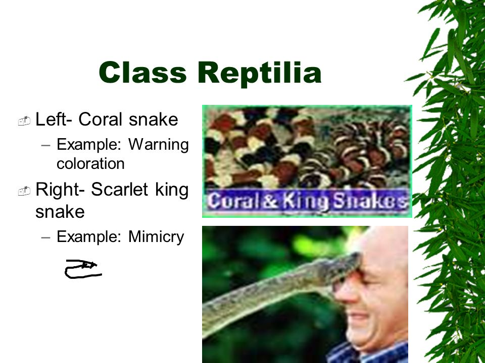 Class Reptilia Left- Coral snake Right- Scarlet king snake