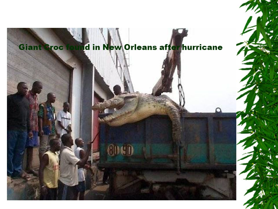 Giant Croc found in New Orleans after hurricane