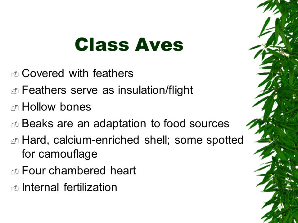 Class Aves Covered with feathers Feathers serve as insulation/flight