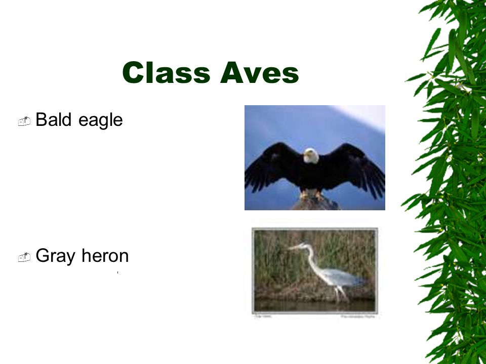 Class Aves Bald eagle Gray heron
