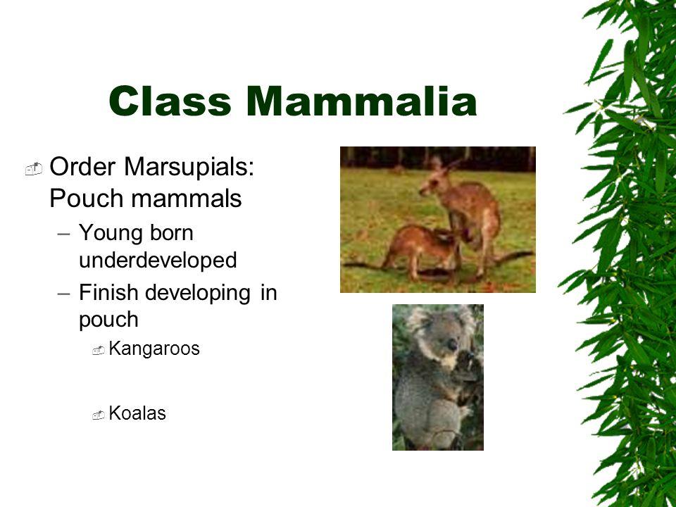 Class Mammalia Order Marsupials: Pouch mammals
