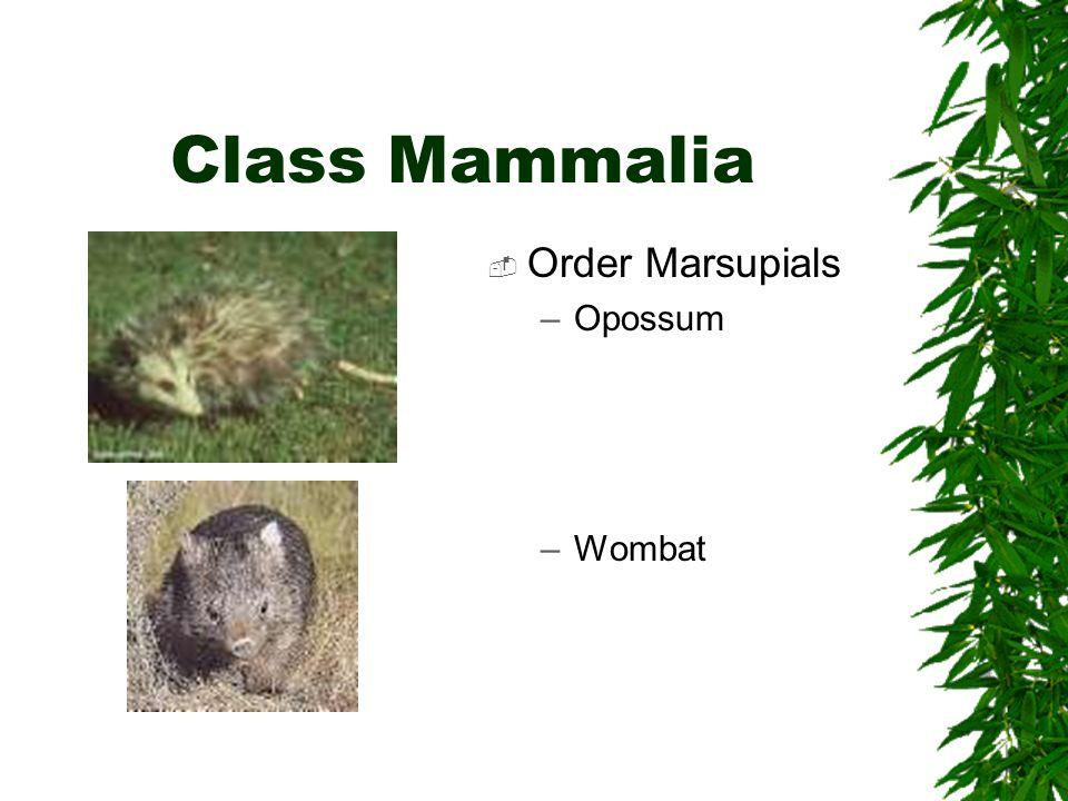 Class Mammalia Order Marsupials Opossum Wombat