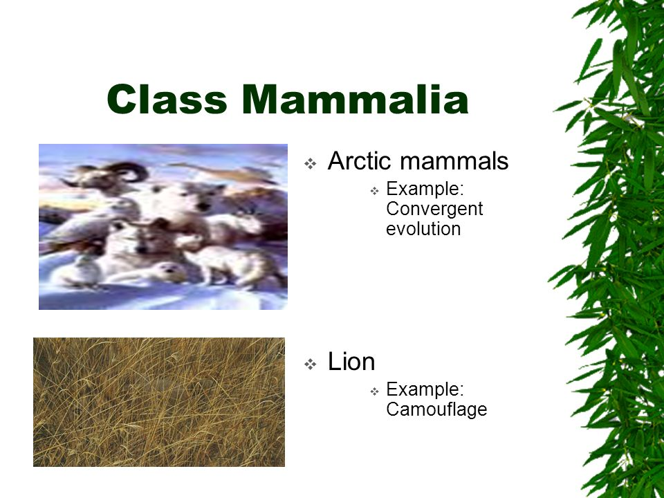 Class Mammalia Arctic mammals Lion Example: Convergent evolution